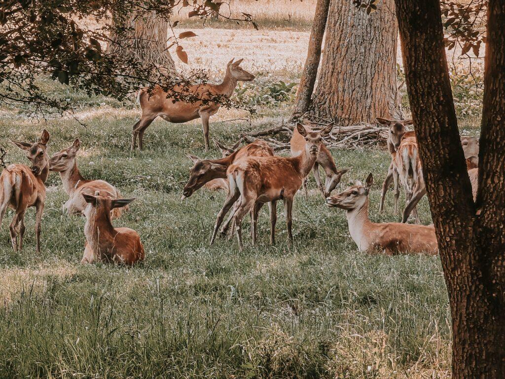 i cervi al boscone della mesola